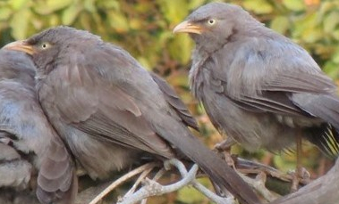 jungle-babblers-in-Lucknow-India-bird-festival-uttar-pradesh-2 (2)