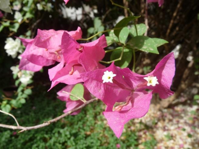 bougainvillae flower