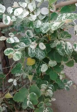 snow bush.jpg